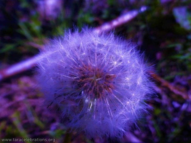8may2016 - blue dandelion