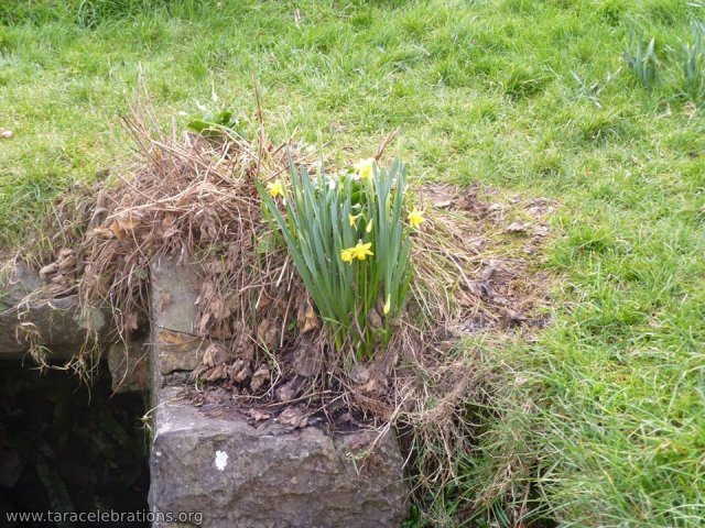 daffs before lady's m